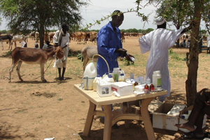 To help herders make a living, a Caritas partner provides free animal vaccinations for livestock in Darfur. Credits: SCC