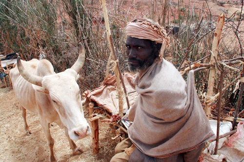 In Ethiopia, intensive care for cattle