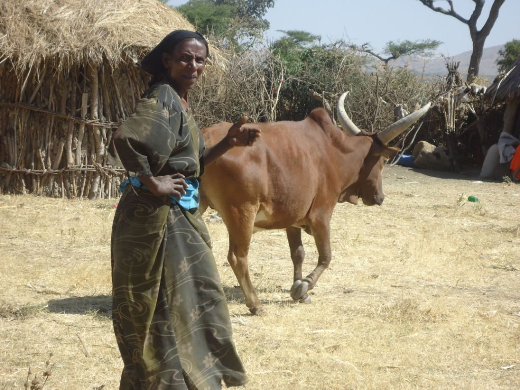 Restocking Ethiopia's cattle