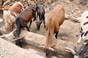 Livestock using the newly constructed cattle trough by Caritas. Credits: Ethiopia Catholic Secretariat