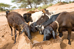In northern Kenya, Caritas trucked in bales of hay for animals. Credits: David Snyder/Caritas