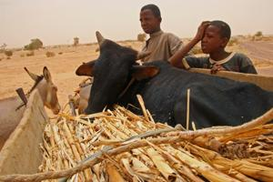 Iliasson, 16, (left) and his brother, Abdul Aziz, 14, haul their heifer, Blackie, in a donkey cart to their village in Niger. Blackie collapsed from starvation. Nine of the boys' 12 cattle have collapsed from starvation. They will hand-feed the animal a mixture of sorghum and millet husks in hopes of reviving her. Credits: CRS/Lane Hartill