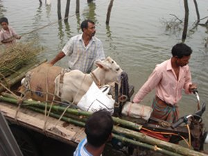 Villagers transport a cow via cart during a flood in southern Bangladesh. Credits: Caritas Bangladesh