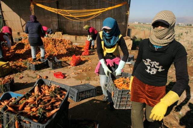 Un groupe de femmes récolte des carottes dans un camp de réfugiés syriens dans le village libanais de Zahlé, dans la vallée de la Bekaa. Photo: Matthieu Alexandre/Caritas