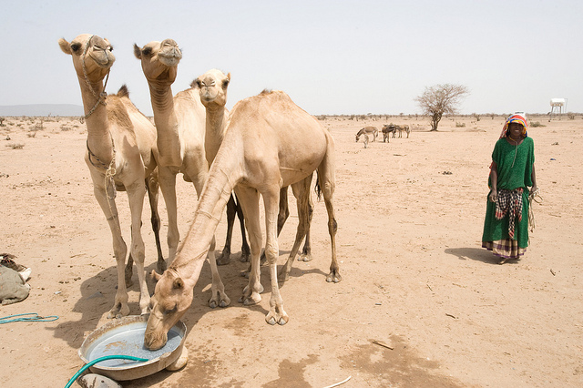 A local woman brings her camels to drink at a water point built by CRS in the arid Shinele Zone of eastern Ethiopia. Photo by David Snyder for Catholic Relief Services