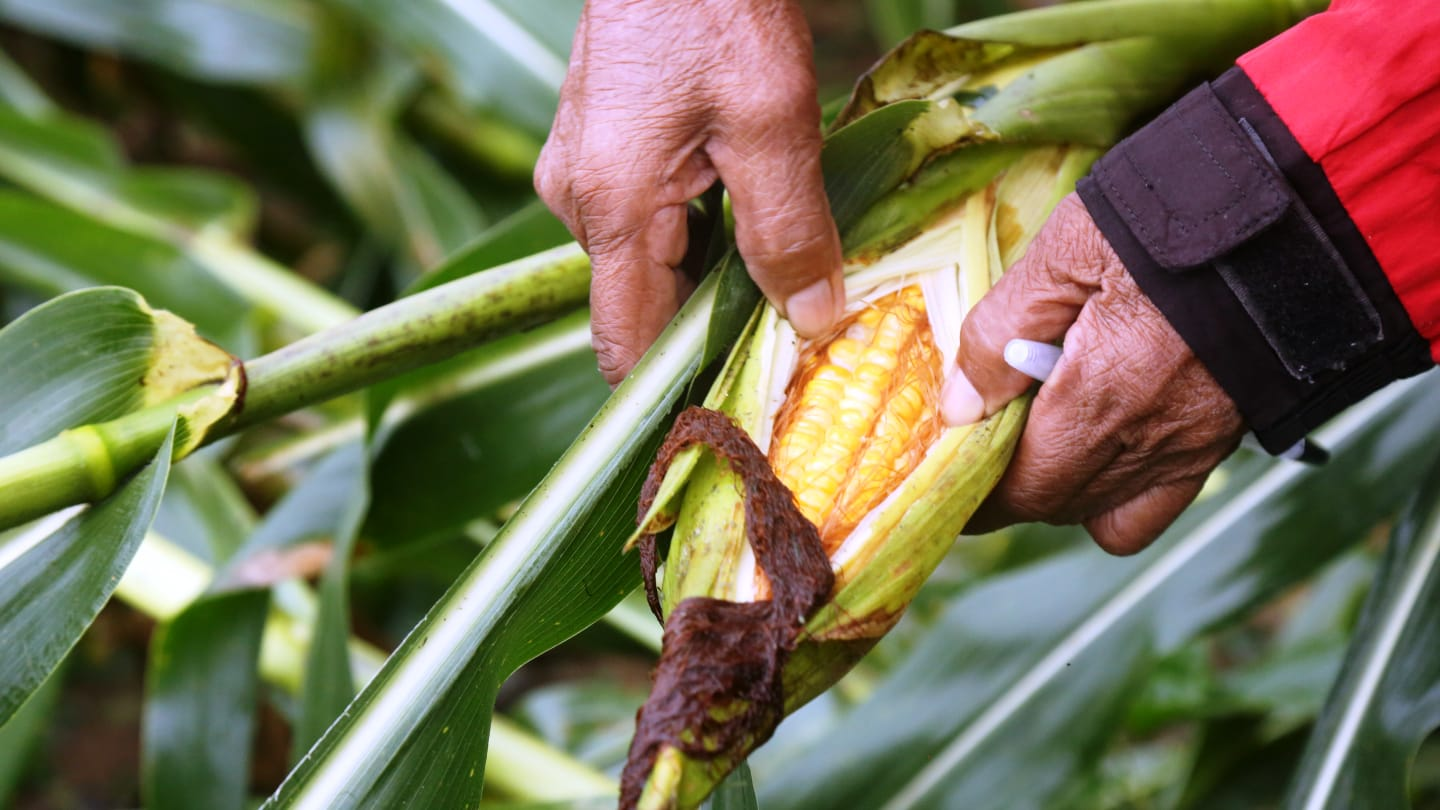 Caritas Philippines staff assesses the damage to corn crops in Ilagan