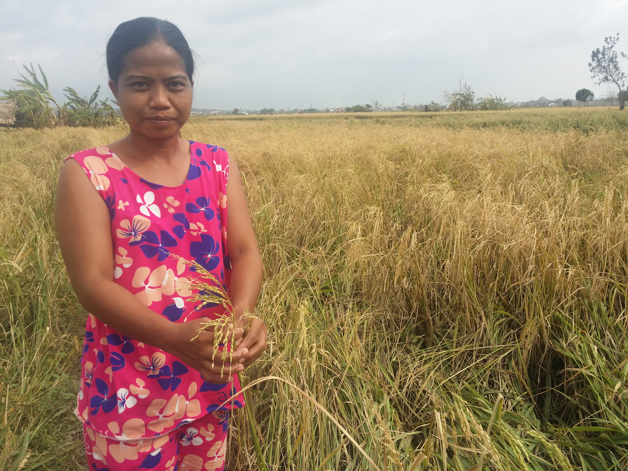 Typhoon Mangkhut severely damaged Emerita's rice fields