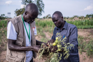 Soro Steward, 32, a South Sudanese refugee and field officer for Caritas, inspects tomato plants at a farmer field school in Bidibidi refugee camp in Uganda.