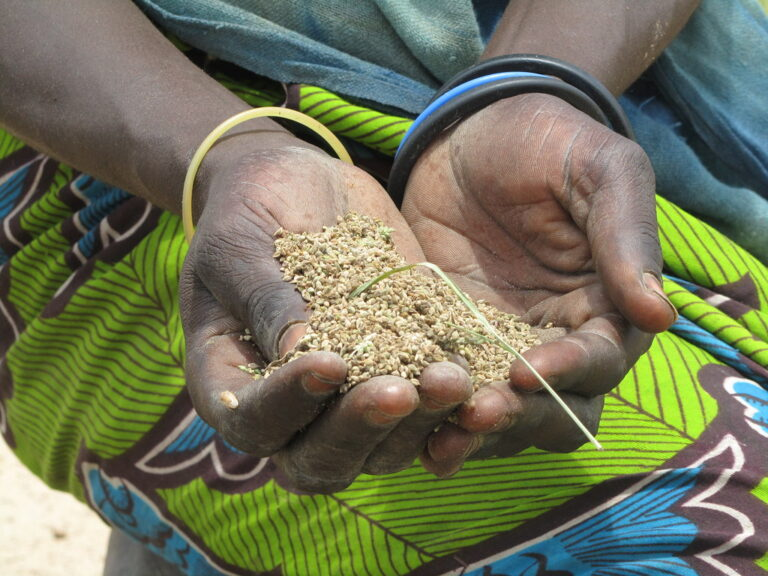 Khreb - wild grain, food during the Sahel crisis